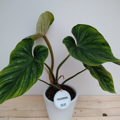 Philodendron plowmanii n.n.