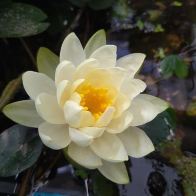 Waterlelie (Nymphaea spp.)