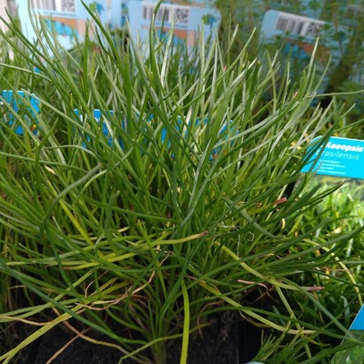 Dwergholpijp (Equisetum scirpoides)