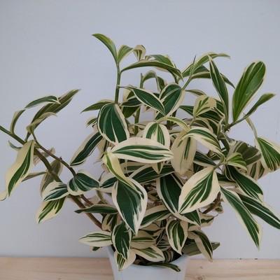Gepanacheerde spiraalgember (Costus arabicus 'Variegata')