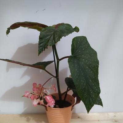 Stippelbegonia (Begonia maculata 'Corallina de lucerna')