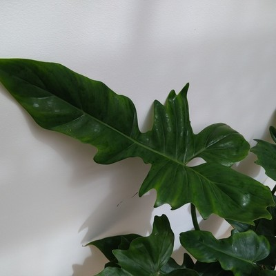 Philodendron 'Green Dragon'