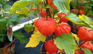 Echte lampionplant (Alkekengi officinarum)