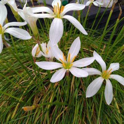Witte westenwindbloem (Zephyranthes candida)