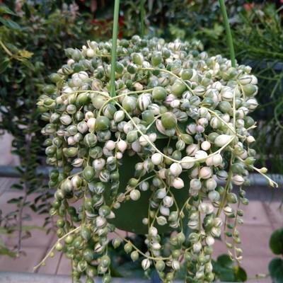 Gepanacheerd erwtenplantje (Curio rowleyanus 'Variegata')