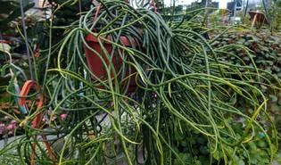 Rhipsalis floccosa