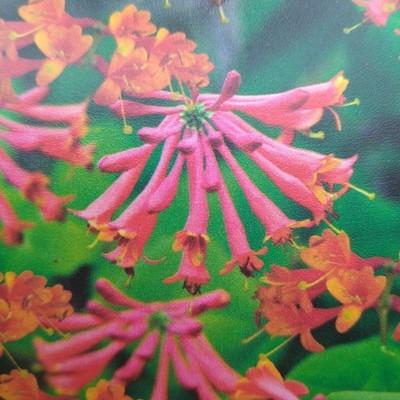 Kamperfoelie (Lonicera × brownii)