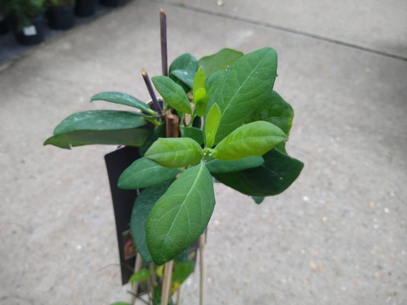 Kamperfoelie (Lonicera × heckrottii)