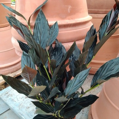 Zingiber malaysianum