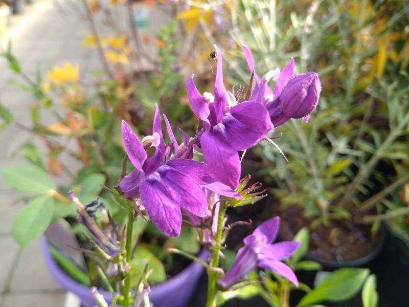 Lobelia × speciosa