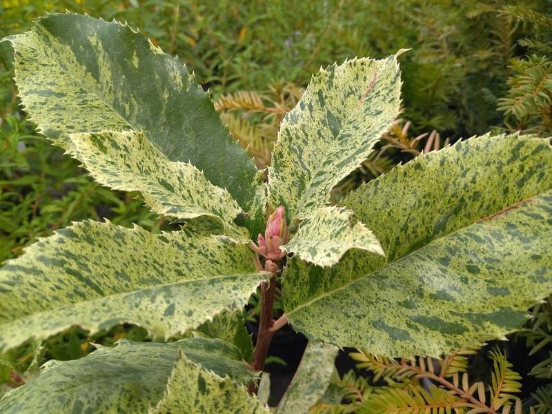 Glansmispel (Photinia serratifolia)