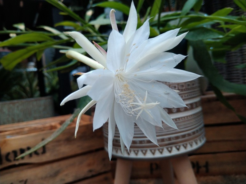Prinses van de nacht (Epiphyllum pumilum)