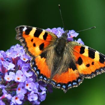 Vlinderstruik - Buddleja