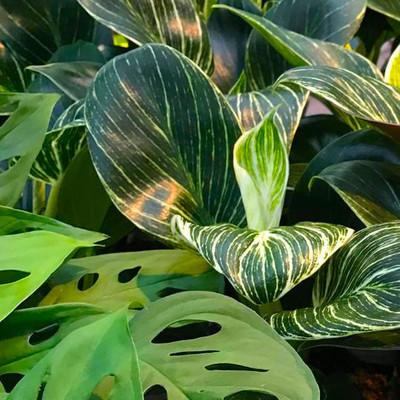 Aronskelkfamilie (Araceae)