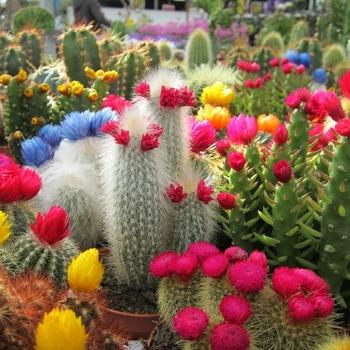 Cactusfamilie (Cactaceae)