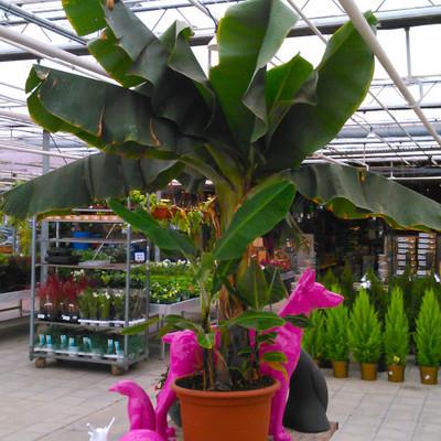 Banaanfamilie (Musaceae)