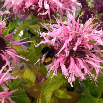 Bijen- & vlinderplanten