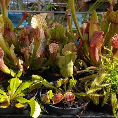 Vleesetende planten voor buiten