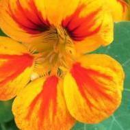 Eetbare bloemen op je bord !