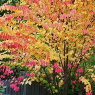 Hartjesboom - Cercidiphyllum japonicum