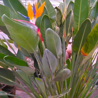 Strelitziafamilie (Strelitziaceae)
