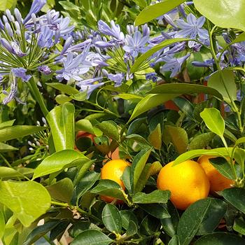 Terrasplanten & Mediterrane planten